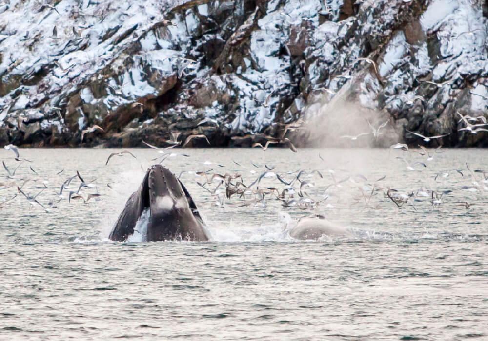 Podrás ver ballenas jorobadas y orcas en la época de avistamiento.