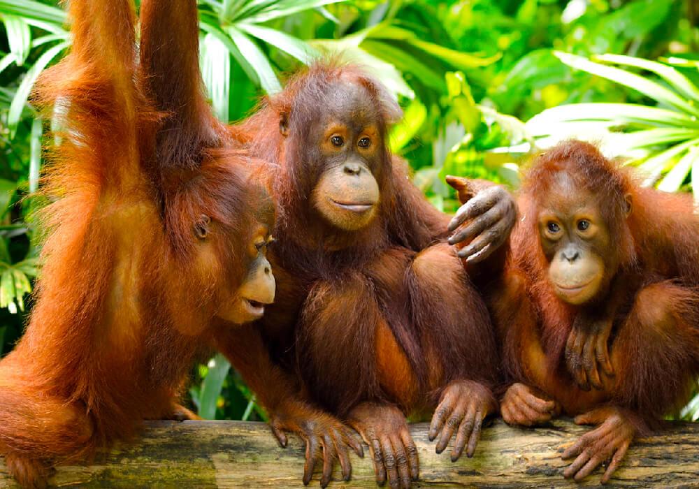 La mejor manera de recorrer este hermoso parque es a pie, este es uno de los dos lugares en el mundo dónde aún encontrarás orangutanes en libertad.