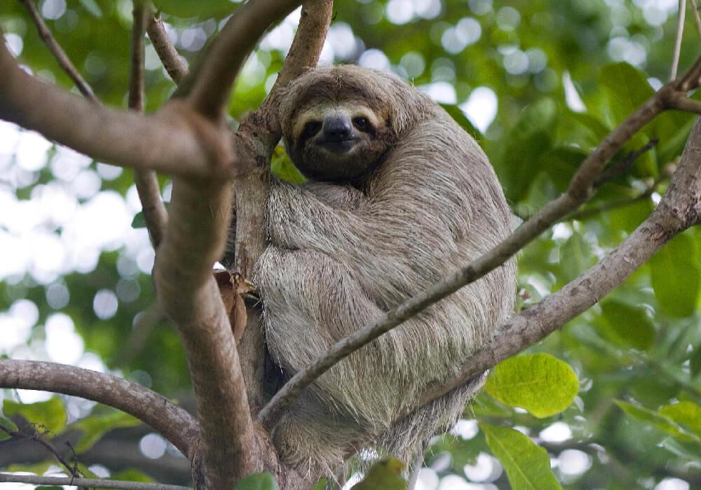 En el Santuario de Perezosos de Costa Rica encontrarás muchos ejemplares en rehabilitación e investigación.