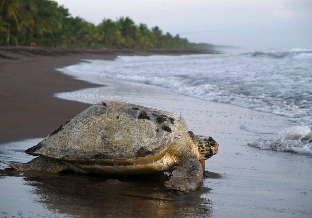 Forma parte del Parque Nacional y esta rodeado de selva; es aquí donde las tortugas cavan sus nidos.