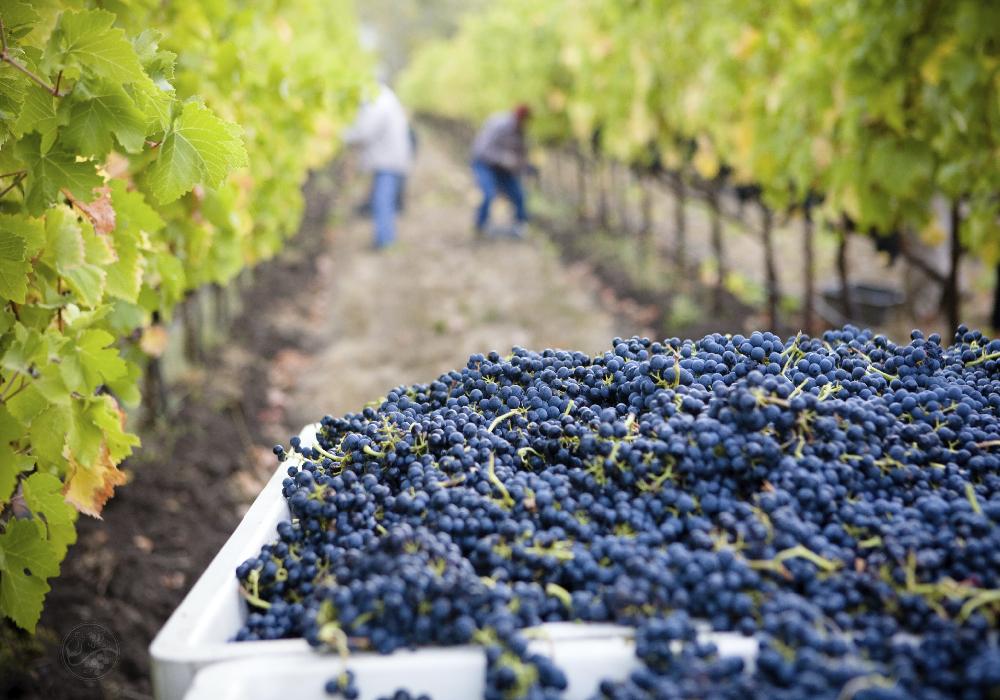 Los viñedos son plantaciones de vides, para la producción de uvas de mesa o de vino.