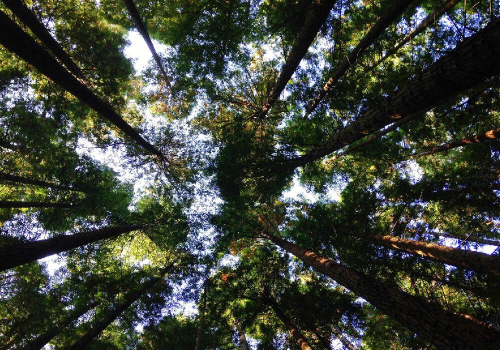 Las Secuoyas son de los árboles más increíbles de todo el mundo, no te los pierdas en tu escapada a las joyas de Cantabria.