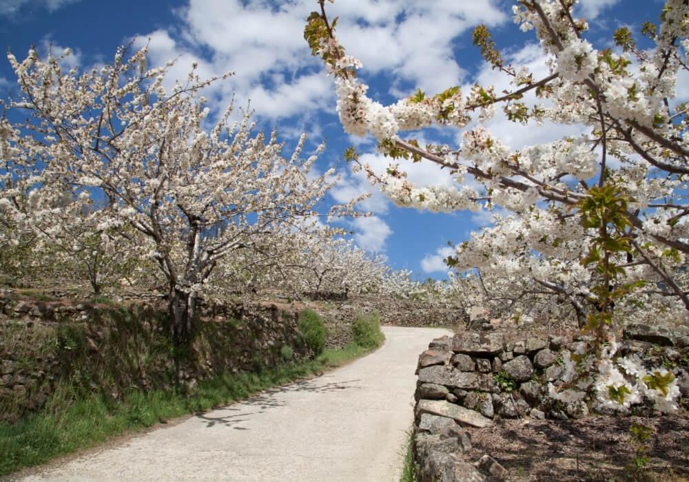Cerezos en flor en el Valle del Jerte, Extremadura